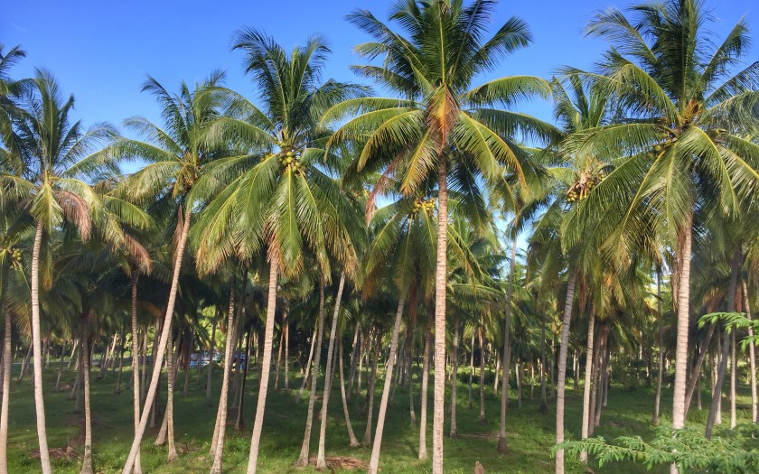 Gesundheit im tropischen Chumphon Thailand, hier Kokosnusspalmen