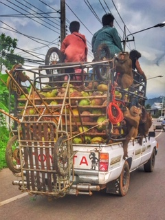 Pickup beladen mit Kokosnüssen-Arbeiter und Affen