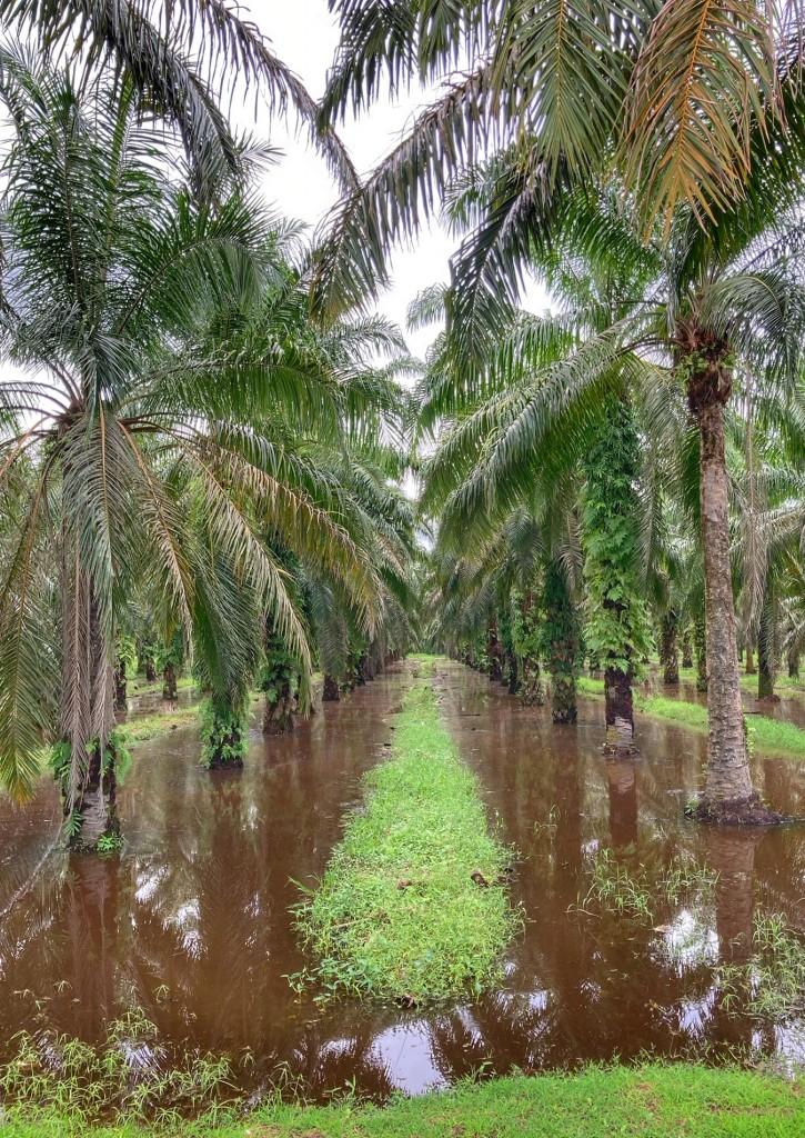überschwemmte Palmöl Plantage, Monsunklima, Chumphon Thailand