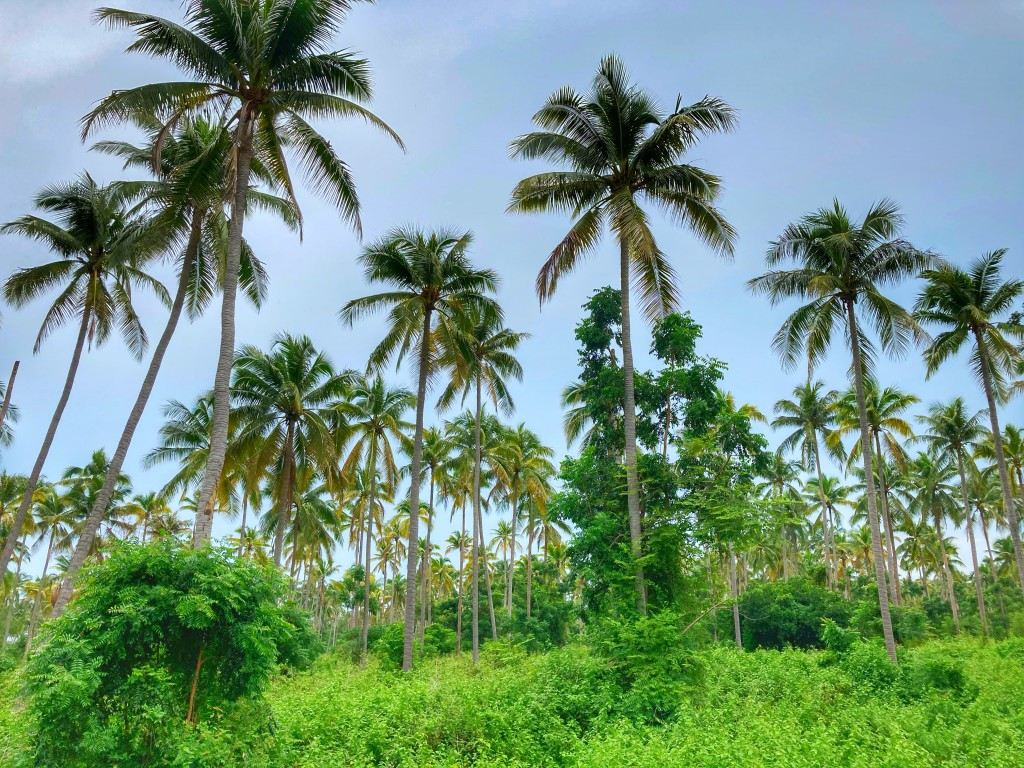 Kokosnus Plantage Kuiburi Thailand