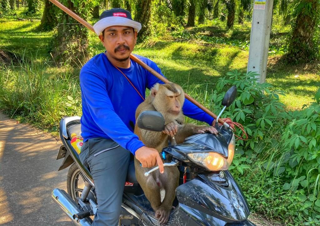 Kokosnuss Affen Peta und Gutmenschen Chumphon Thailand