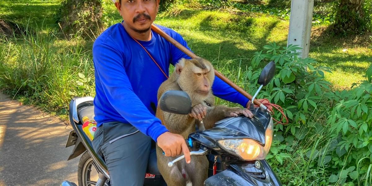 Kokosnuss Affe Chumphon Peta Thailand