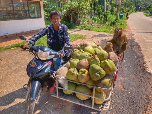 Kokosnuss Affen Peta Chumphon Thailand