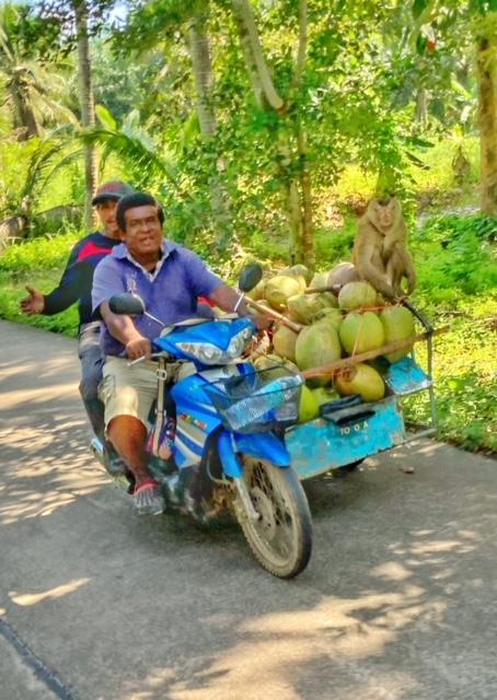 Kokosnuss Affen Peta Chumphon