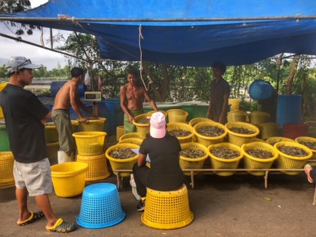 Garnelenverkauf direkt auf der Straße mit Sortierung Chumphon Thailand