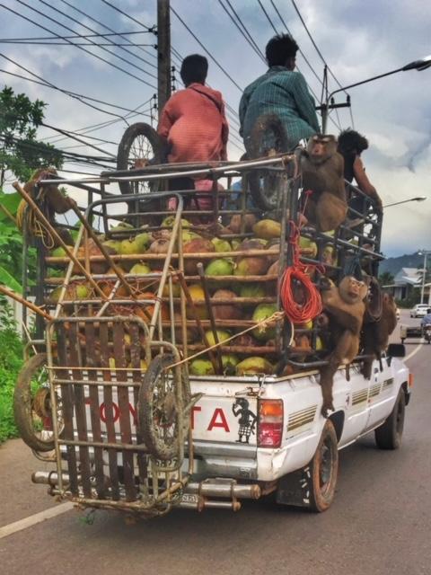 Kokosnuss und Affen Soloselbständig Chumphon Thailand
