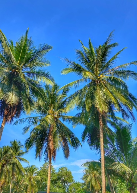 Kokospalmen Chumphon