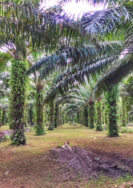 Palmölplantage Chumphon Thailand