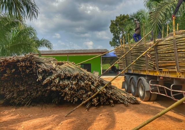 Bambus in Chumphon Thailand