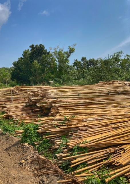 Bambusernte für Muschelzucht in Chumphon Thailand