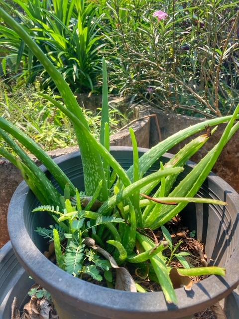 Aloe Vera Flora und Fauna auf Baan Metawi