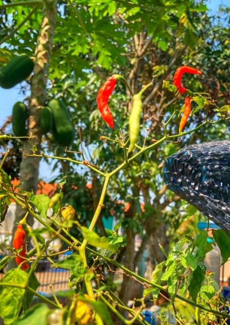 Chilli gibt es auf Baan Metawi überall, Flora und Fauna