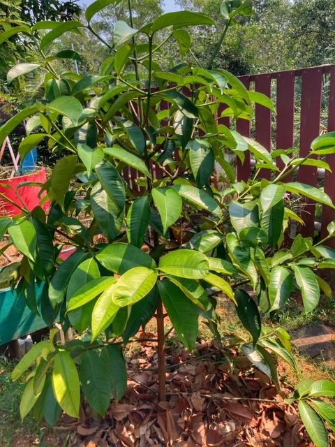 Mangosteen, die schönste aller Früchte