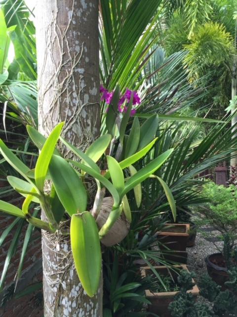 Orchideen und Fuchsschwanzpalme als Wirt, Chumphon Thailand