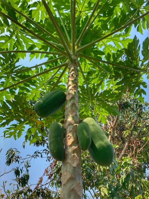 Papaya, wächst wie Unkraut auf Baan Metawi, Chumphon, Thailand