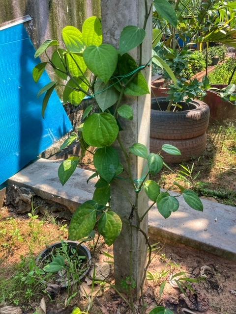 Pfeffer, im Land von Baan Metawi, Chumphon Thailand, Flora