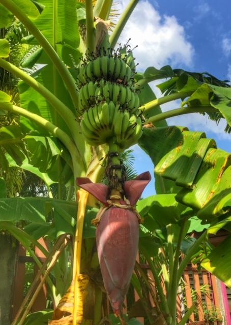 Violettes Gemüse der Banane, kennen wir in Europa nicht