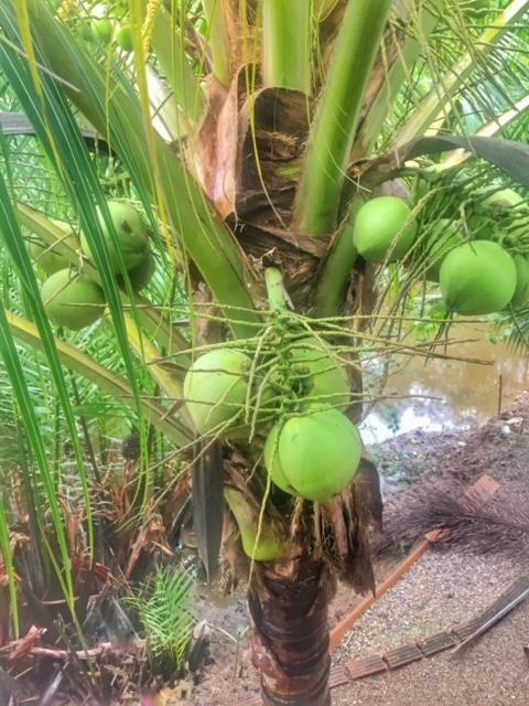 unsere selbstgepflanzte Kokospalme am Meerwasserkanal