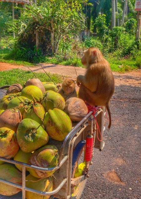 Affe Kokosnuss Saläng Thailand