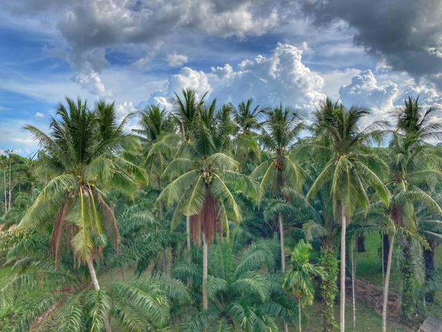 Kokosnuss Plantage von oben Chumphon Thailand
