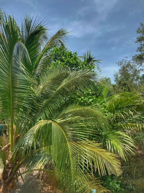 Mangroven, Kokosnuss und Nipapalme