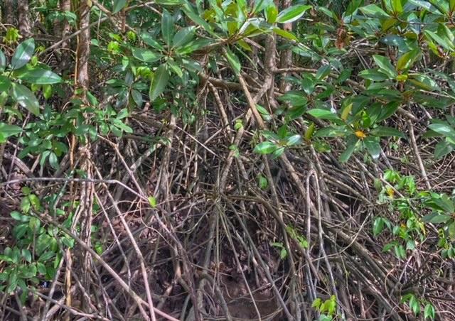 Mangrovenwald Luge der Erde VerästelungenLunge der Erde Chumphon Thailand