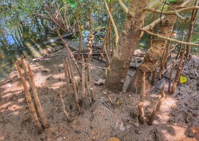 Meerwasserkanal, Baan Metawi, Mangroven Baum, Chumphon, Thailand
