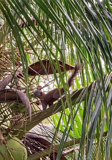 Riesenhörnchen Chumphon Baan Metawi Thailand