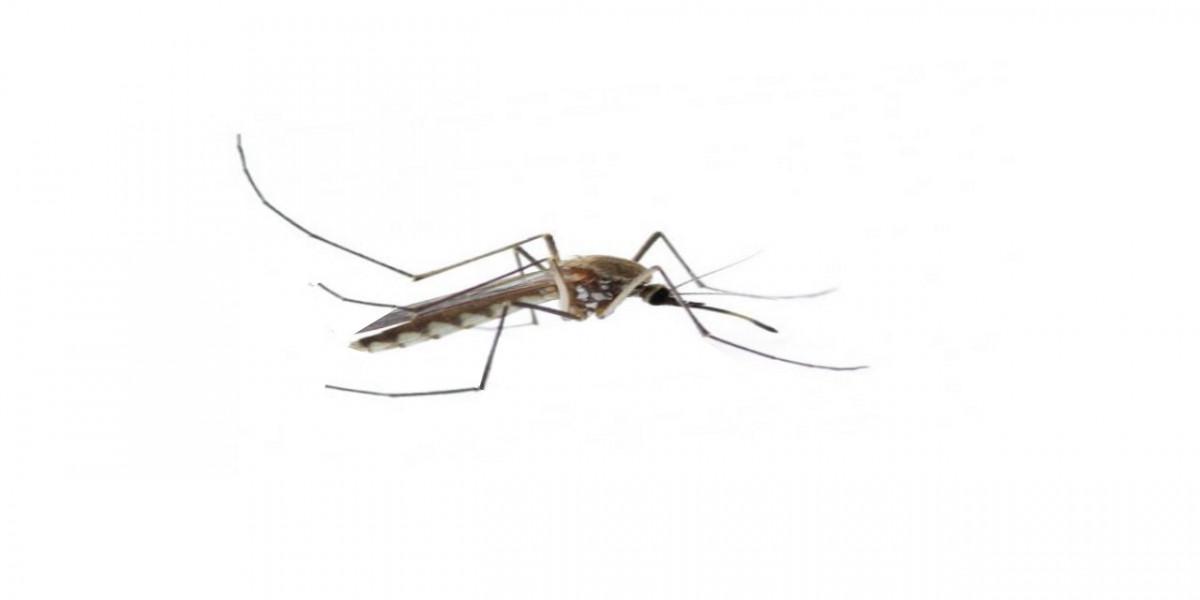 Moskitos, Dengue Fieber mit Wolbachia Bakterien bekämpfen