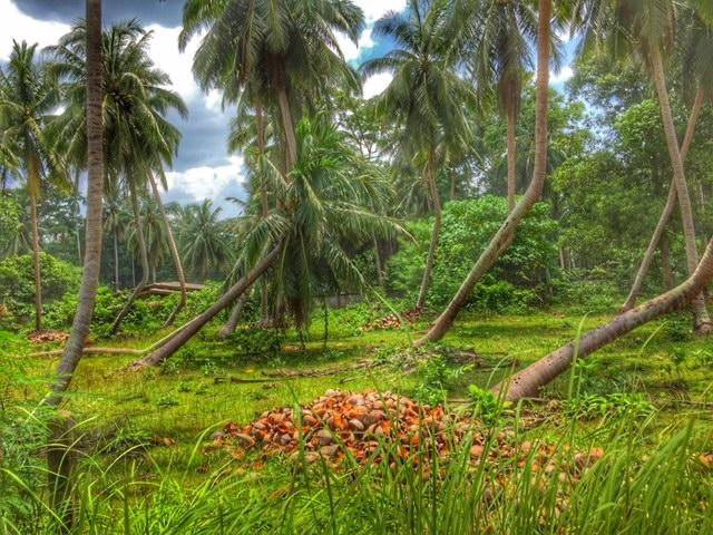vom Wind geformte Kokosnussbäume