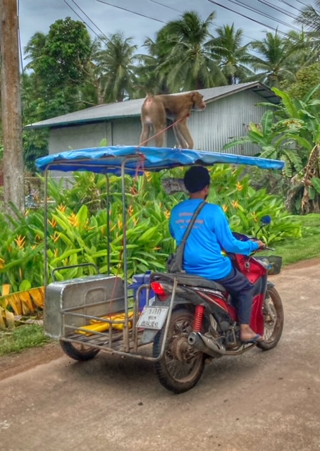 Affen Kokosnuss Ernte Saläng Chumphon Thailand