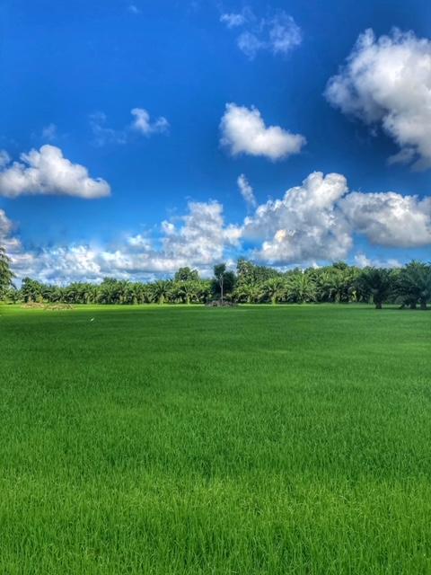 Bilder für Blog Leben in Thailand Reis und Palmöl