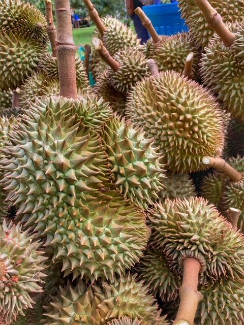 Durian Frucht Durianernte Chumphon Thailand 10