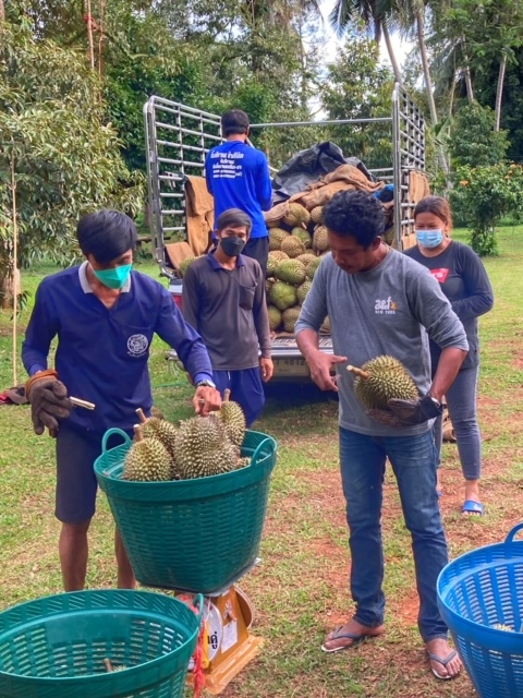 Durian Frucht Durianernte Chumphon Thailand 11