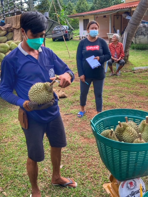 Durian Frucht Durianernte Chumphon Thailand 12