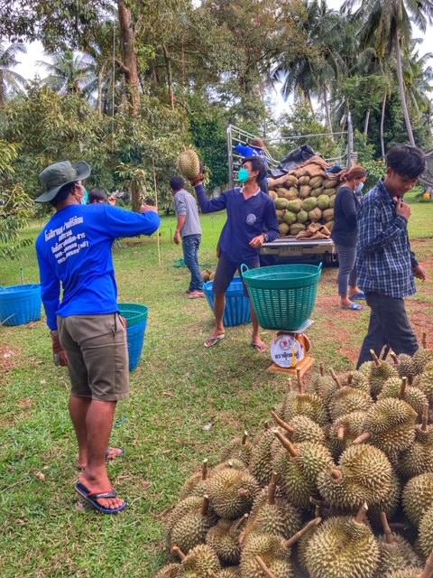 Durian Frucht Durianernte Chumphon Thailand 13