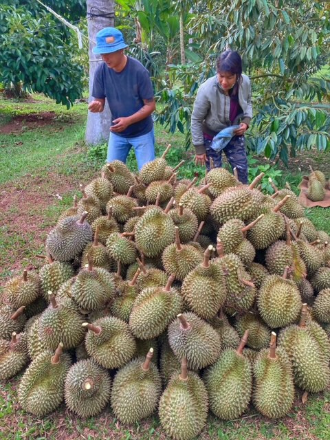Durian Frucht Durianernte Chumphon Thailand 14