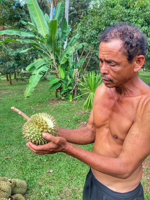 Durian Frucht Durianernte Chumphon Thailand 15