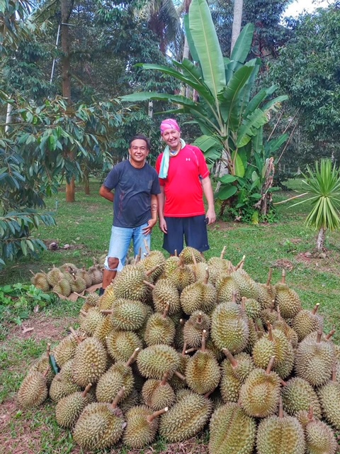 Durian Frucht Durianernte Chumphon Thailand 17
