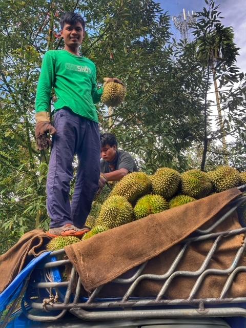 Durian Frucht Durianernte Chumphon Transport nach Bangkok