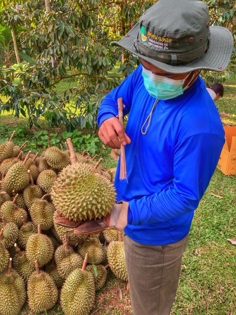 Durian Frucht Durianernte Chumphon Thailand 9