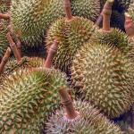Durian, Stinkfruch, Plantage, Durianplantage