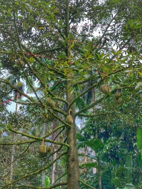 Durianbaum Durianplantage 2