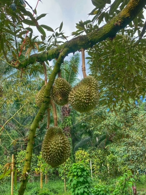 Erfahrungen Blog Thailand Durianbaum Durianplantage 4