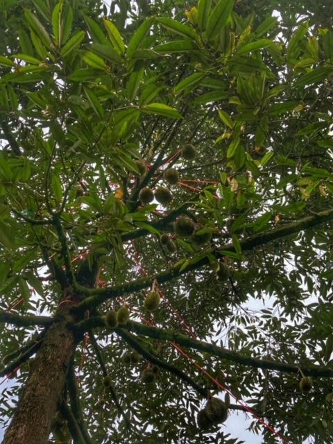 Durianbaum Durianplantage 5