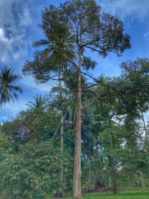 Durianbaum Durianplantage 8