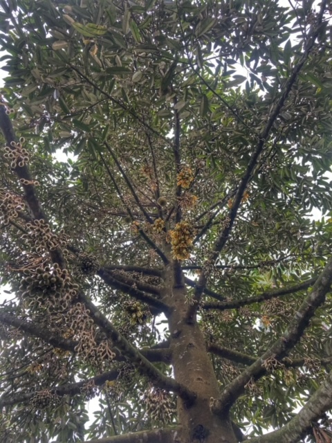 Durianbaum Durianplantage 9