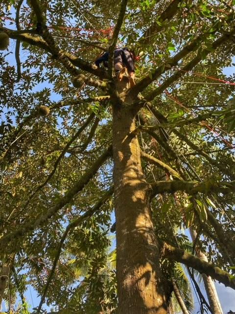 Durianbaum Durianplantage