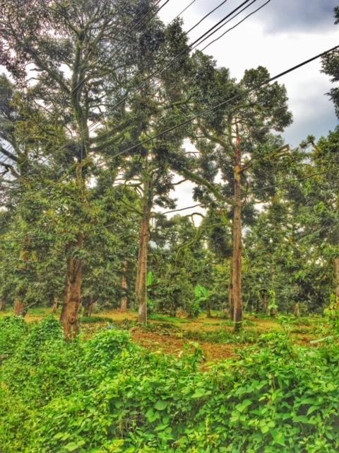 Durianplantage in Chumphon