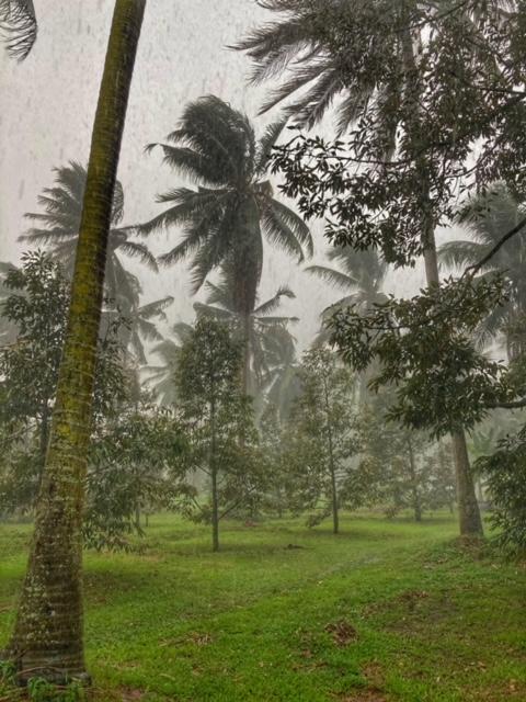 Durianplantage vermischt mit Kokosnussbaum bei Sturm